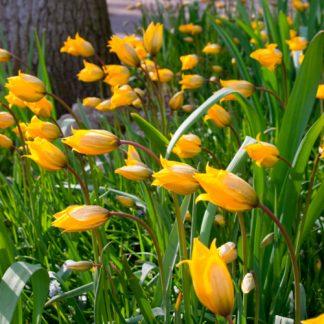 Sylvestris - Vild tulipan.