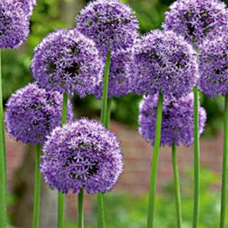 Allium Gladiator.