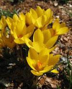 Krokus Goldilocks.botanisk