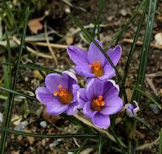 Krokus Spring Beauty botanisk