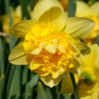 "Narcissus ""Dick Wilden"""