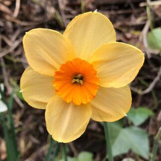 """Narcissus """"Kedron"""""""