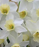 "Narcissus ""Sailboat""."