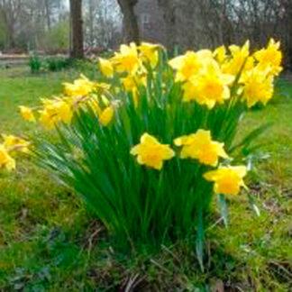 "Narcissus""Carlton"""