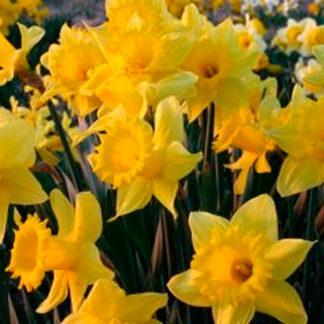 "Narcissus""Dutch Master""."