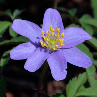 Anemone, blå skovanemone