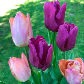 Endless Spring. Tulipan blanding.