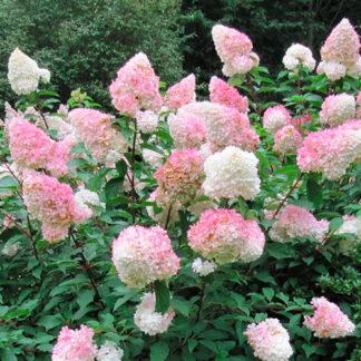 Hortensia paniculata Vanille Fraise