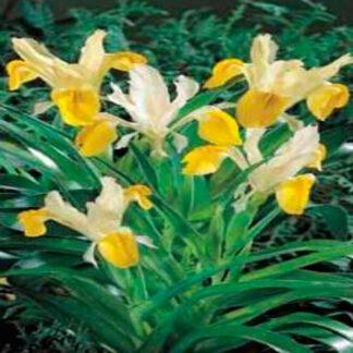 Iris Hollandica gul/hvid