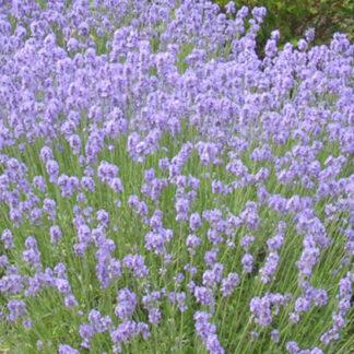 Lavendel Munstead. Barrodsplante. Udsolgt