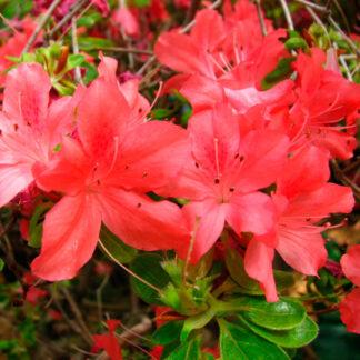 Rhododendron Addy Werk