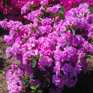 Rhododendron Elsie Lee