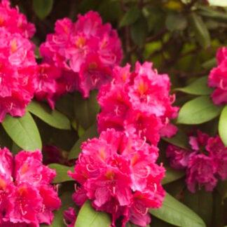 Rhododendron Kirsten Begeer