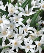 Snepryd luciliae Alba.