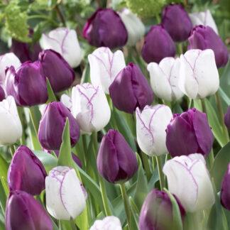 Ella Tulipan blanding.
