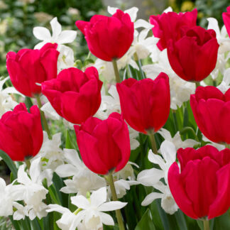 Ida - narcis/tulipan blanding