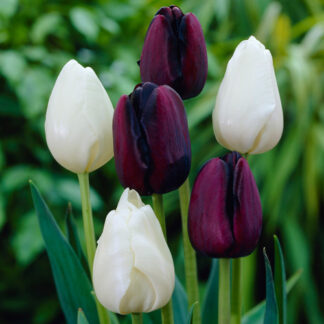 Oliver. Tulipan blanding.