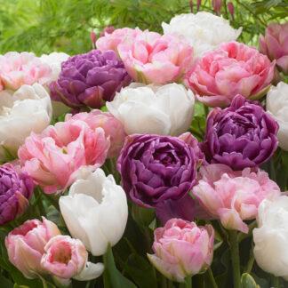 Rikke tulipanblanding.