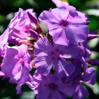 "Høstfloks Paniculata ""Blue Paradise"""
