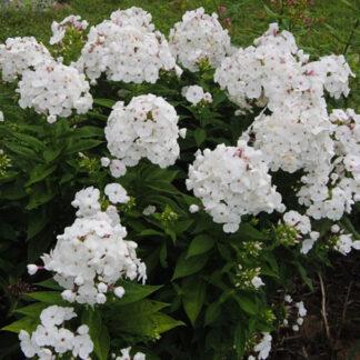 "Høstfloks Paniculata ""White Sparr"""