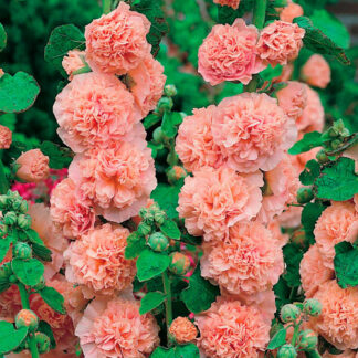 "Stokrose ""Peaches and Dreams"""