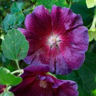 "Stokrose "" Rosea Violet""."