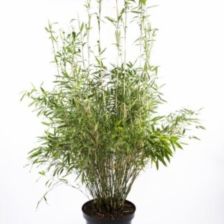 Bambus 'Simba' 5 l.