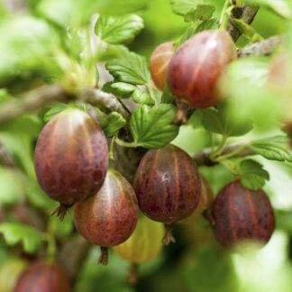 Rød Hinnomaki stikkelsbærbusk