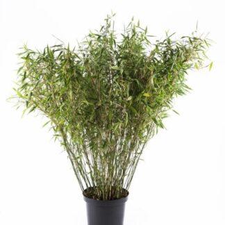 Bambus 'Jumbo' 5 l.