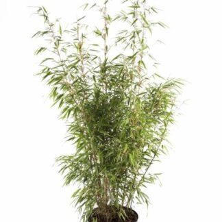Bambus 'Rufa' 5 l.